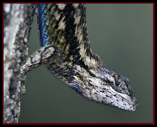Western Fence Lizard - Friedrich Wilderness Park - San Antonio, Texas