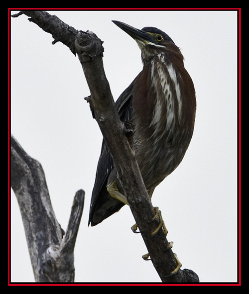 Green Heron - Lost Maples Store - Vanderpool, Texas