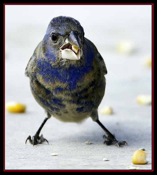 First Summer Blue Grosbeak - Lost Maples Store - Vanderpool, Texas