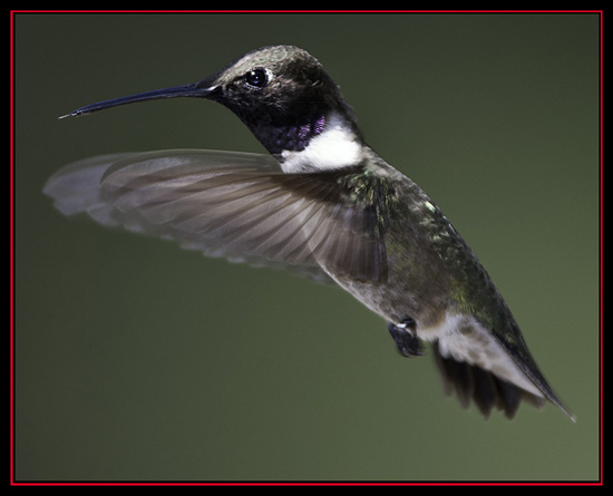 Black-chinned Hummingbird - Lost Maples State Natural Area - Vanderpool, Texas