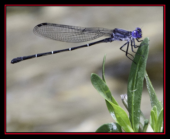 Damselfly on the Frio River - Garner State Park - Concan, Texas