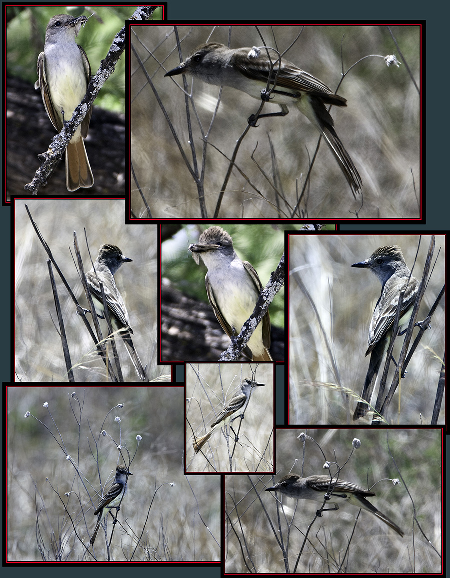 Ash-troated Flycatcher Files - Garner State Park - Concan, Texas