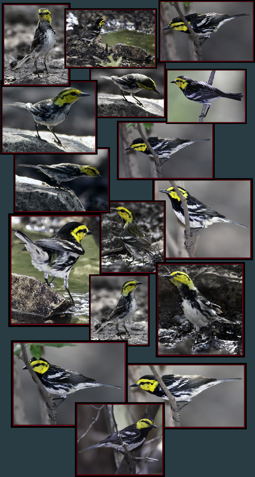 Golden-cheeked Warbler Files - Friedrich Wilderness Park - San Antonio, Texas