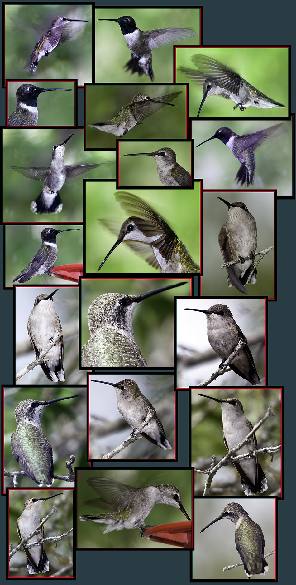 Black-chinned Hummingbirds - Guadalupe River State Park, Spring Branch, Texas