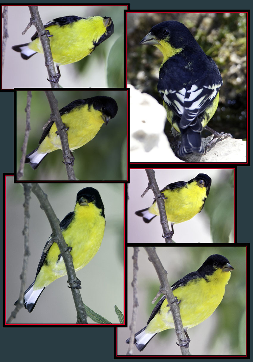 Lesser Goldfinch Files - Cibolo Nature Area - Boerne, Texas