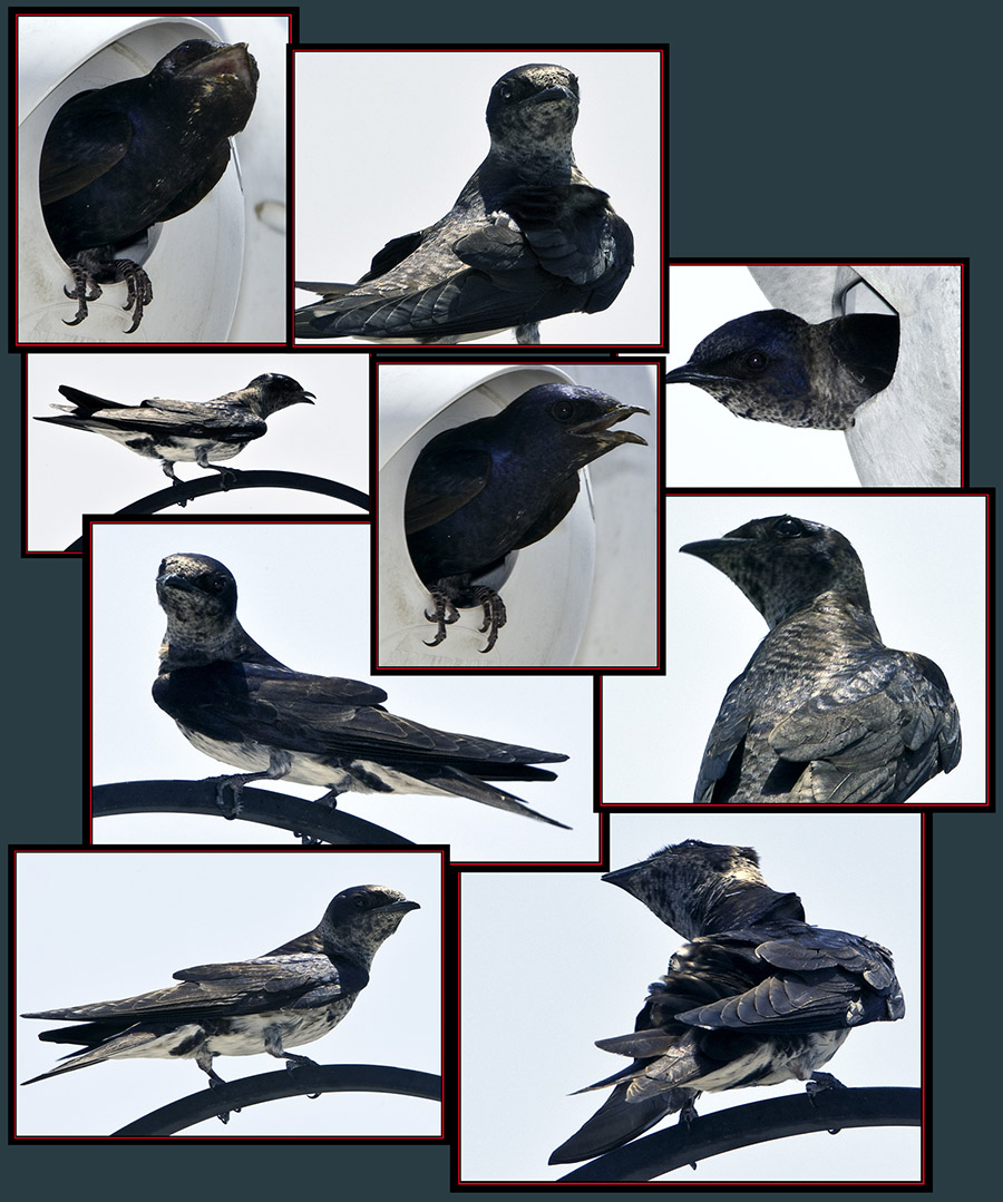 Purple Martin Files - Cibolo Nature Area - Boerne, Texas