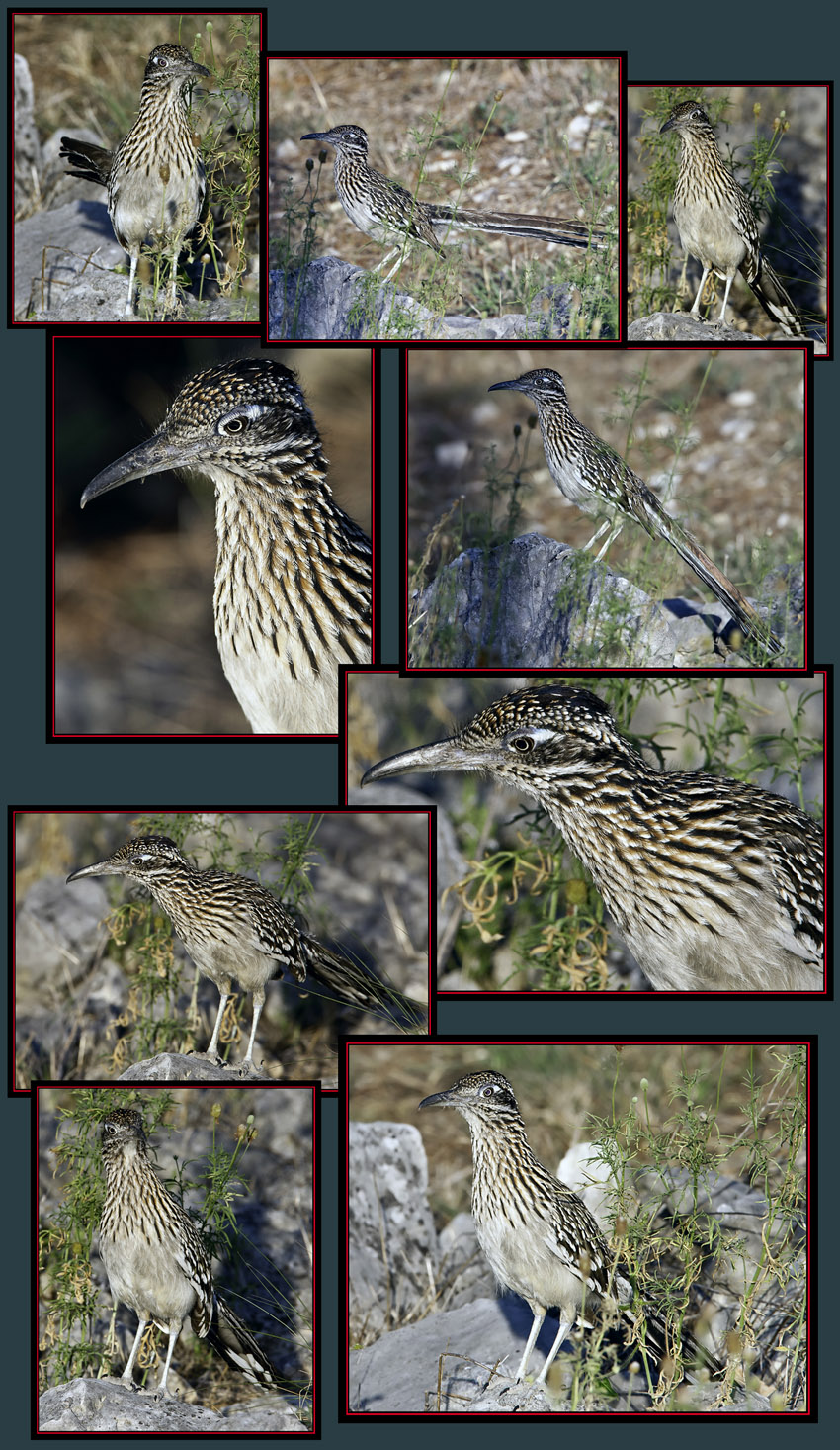 Greater Roadrunner Files - Boerne, Texas
