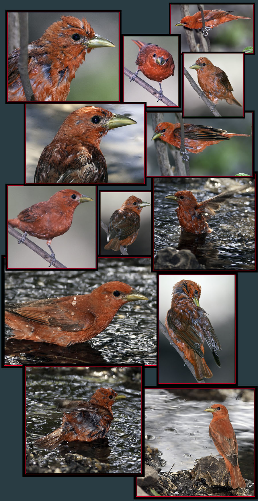 At the Water Hole - Summer Tanager Files - Friedrich Wilderness Park - San Antonio, Texas