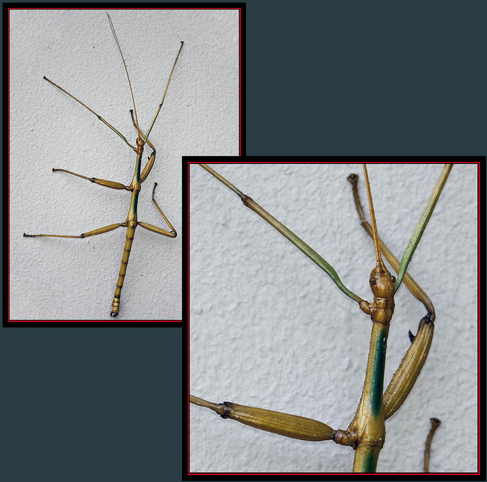 Texas Giant Walkingstick