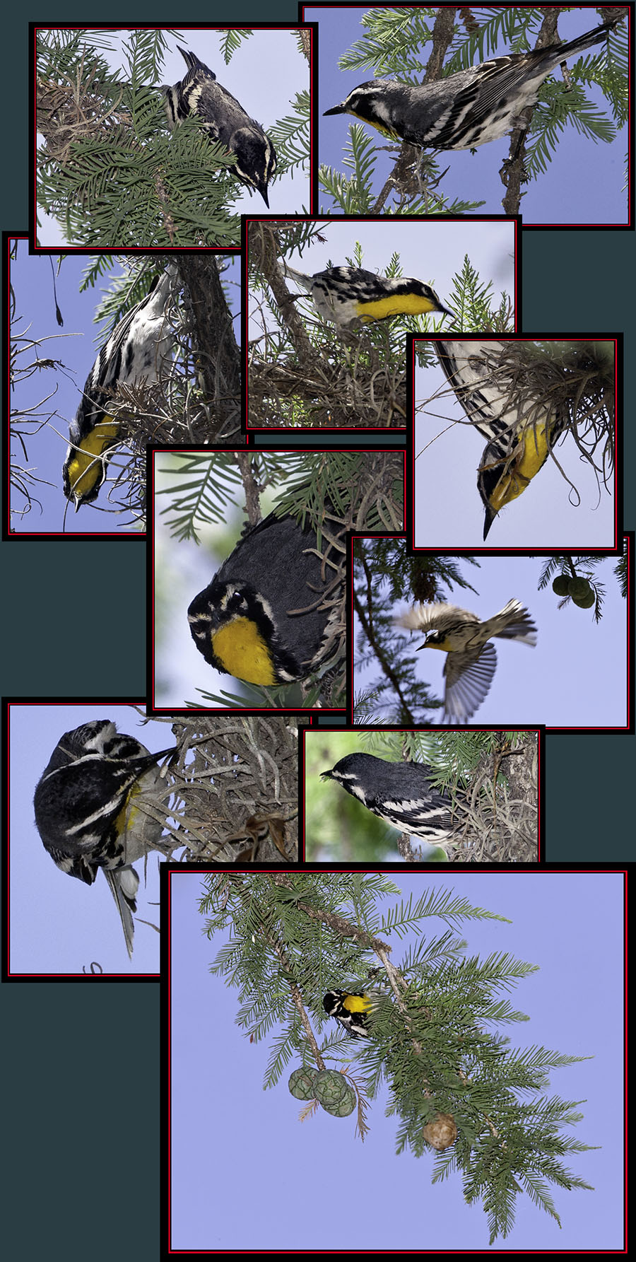 Yellow-throated Warbler - Garner State Park - Concan, Texas