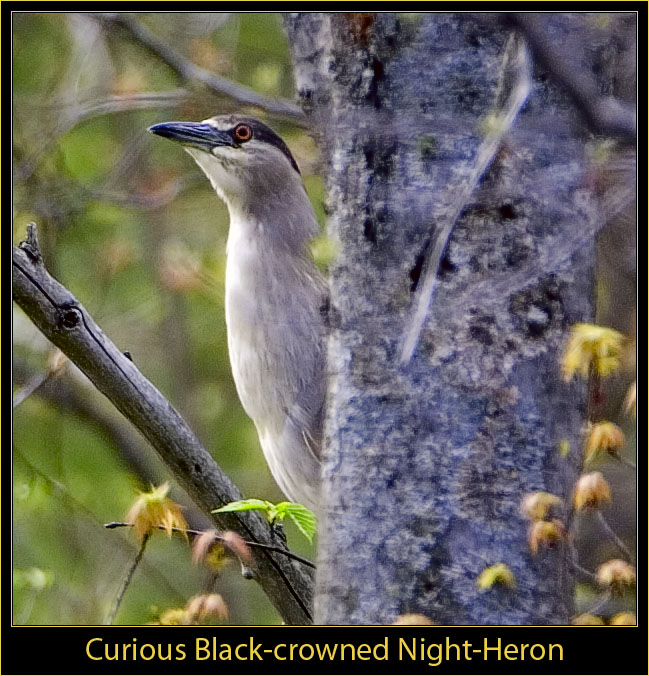 Black-crowned Hight-Heron