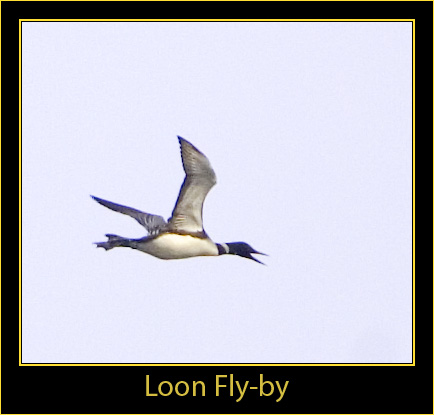 Loon in Fight