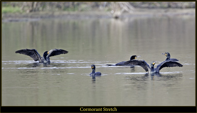 The Cormorant Contingent