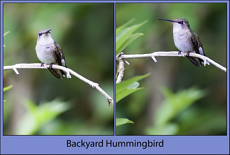 Another Female Hummingbird