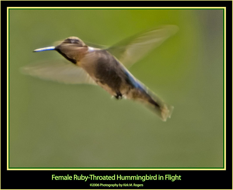 Female Ruby-Throat in Flight