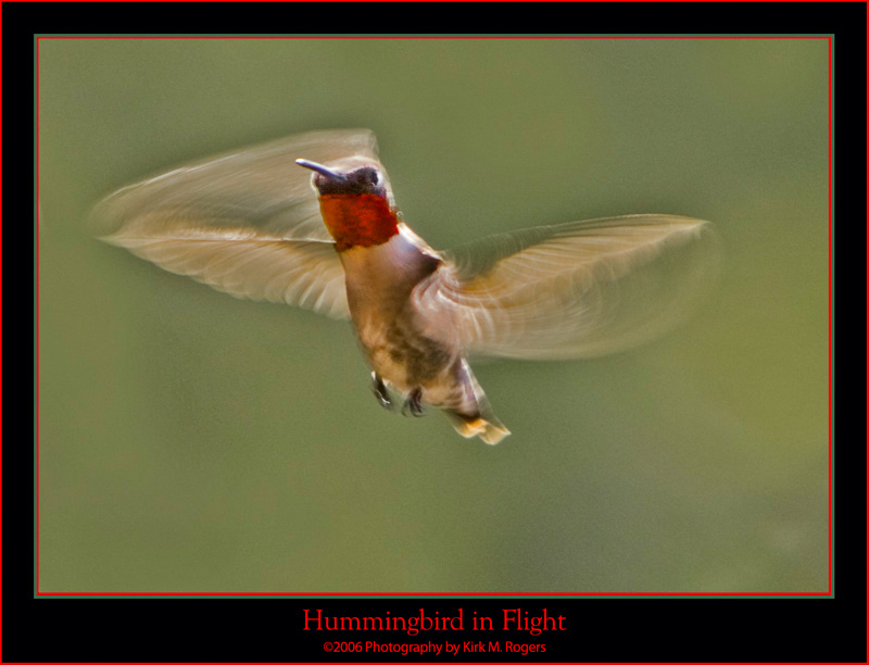 Male Ruby-Throat in Flight