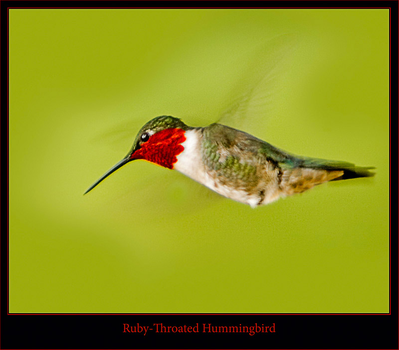 Male Ruby-Throat - Flight Close Up