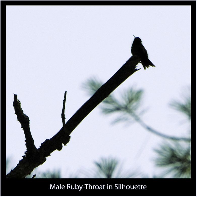 Male Hummingbird in Silhouette