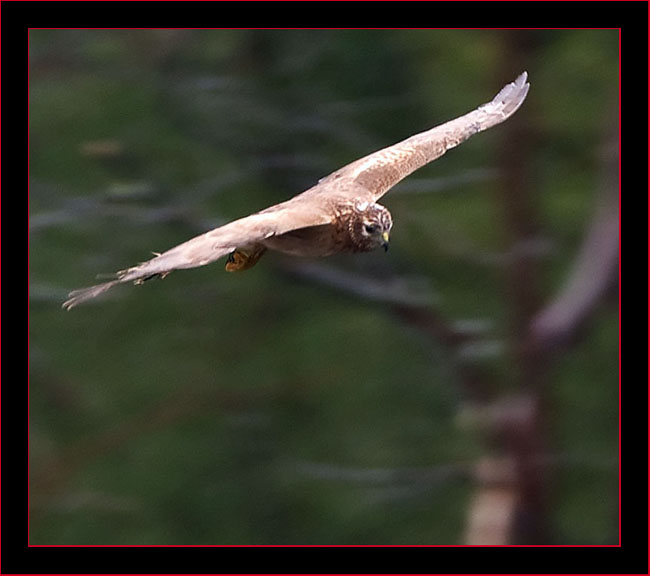 Northen Harrier in Flight