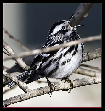 Black & White Warbler Singing