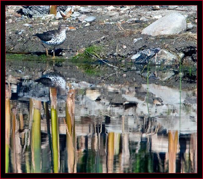Spotted Sandpiper View