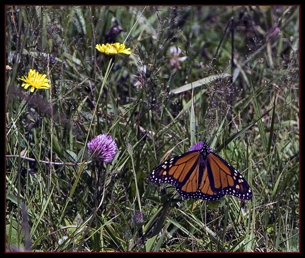 Linda's Monarch Butterfly Image