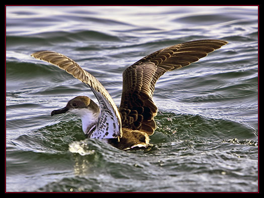 Greater Shearwater on the Ocean