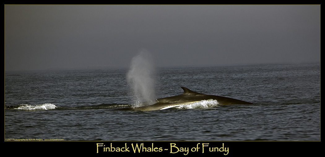 Finback Whales