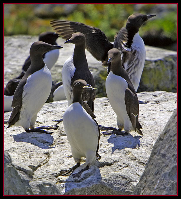 Common Murre Group Including a 'Bridal Veil' with Fish
