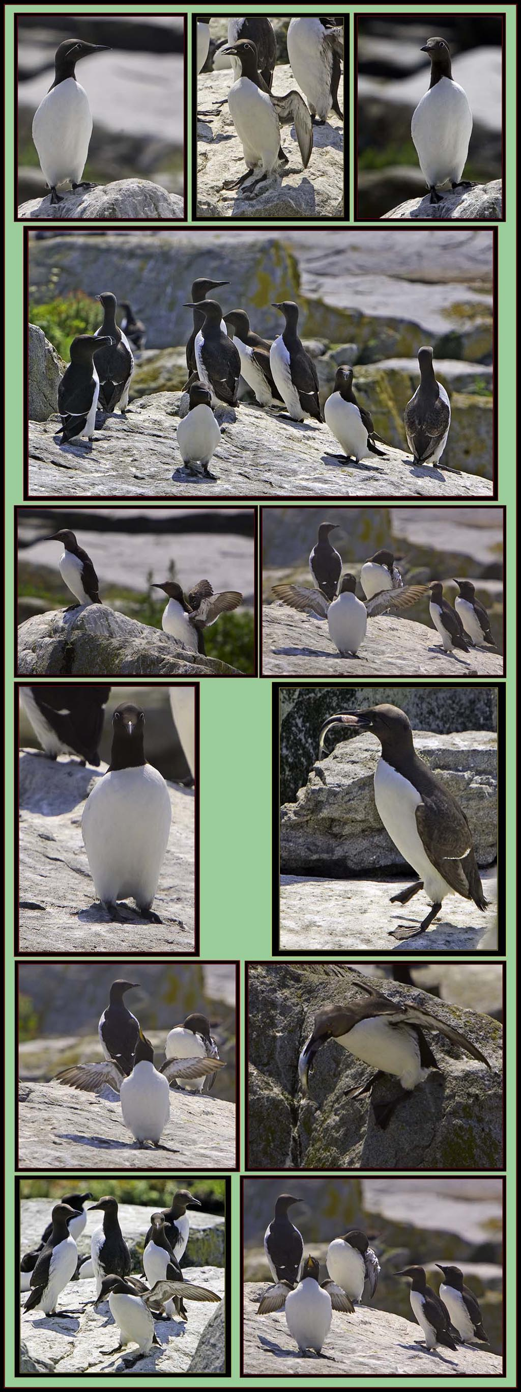 Common Murre Images