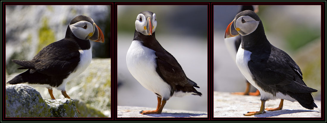 Photographing Atlantic Puffins via Harley-Davidson