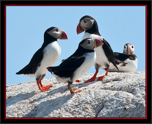 Atlantic Puffin Group - Matinicus Rock
