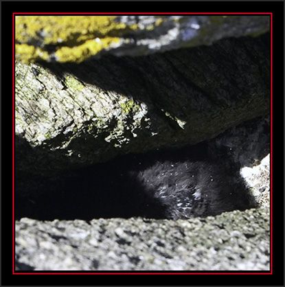 Black Guillemot Chick in the Ledge - Matinicus Rock