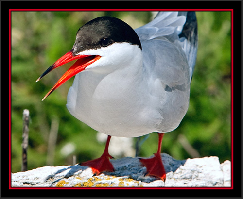 Common Tern - Matinicus Rock