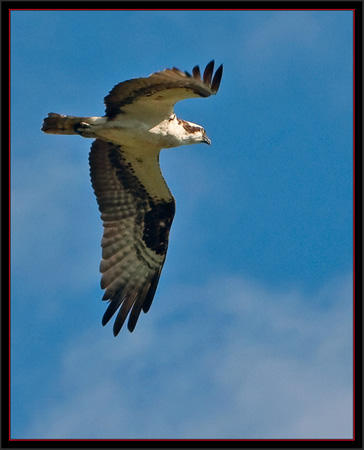 Osprey - View at Snow Marine Park