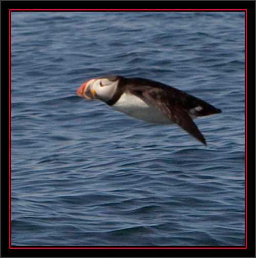 Atlantic Puffin - Matinicus Rock