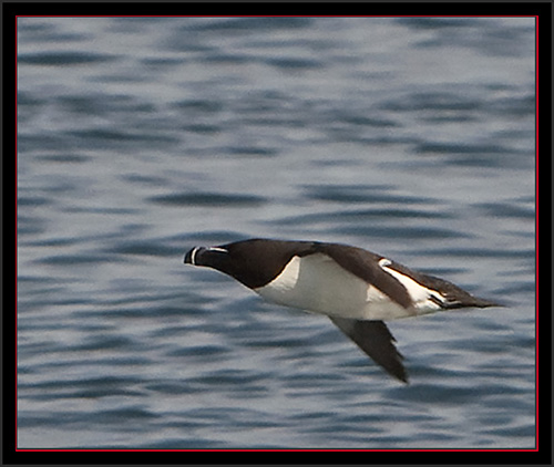 Razorbill - Matinicus Rock - Maine Coastal Islands National Wildlife Refuge