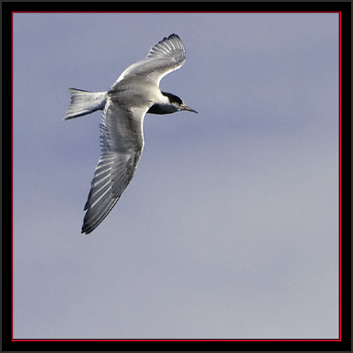 Tern in Flight - Matinicus Rock - Maine Coastal Islands National Wildlife Refuge