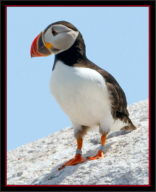 Atlantic Puffin - Matinicus Rock - Maine Coastal Islands National Wildlife Refuge