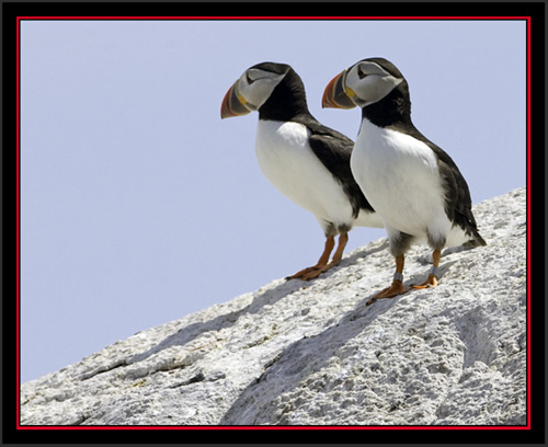 Atlantic Puffins - Matinicus Rock