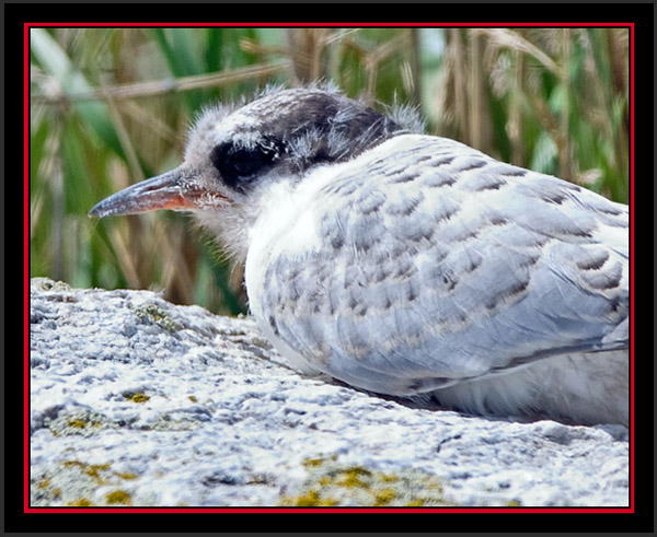 Arctic Tern Fledling - Matinicus Rock - Maine Coastal Islands National Wildlife Refuge