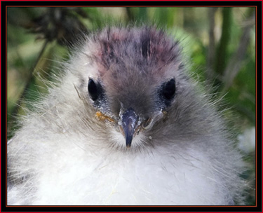 Arctic Tern Chick - Matinicus Rock, Maine