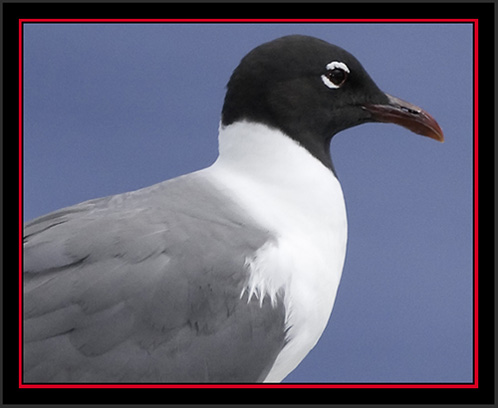 Laughing Gull - Matinicus Rock