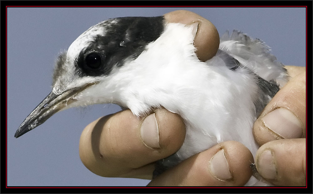 Tern Chick in Hand - Matinicus Rock