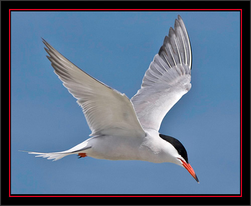 Common Tern in Flight - Matinicus Rock