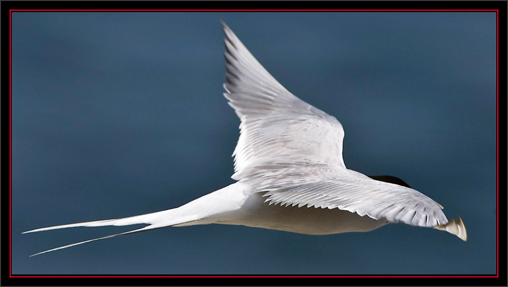 Common Tern - Matinicus Rock - Maine Coastal Islands National WIldlife Refuge