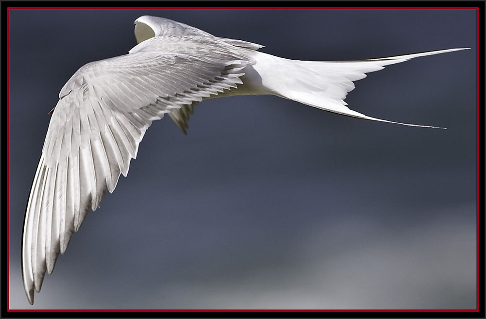Common Tern Flyby - Matinicus Rock