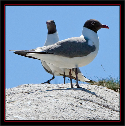 Laughing Gulls - Matinicus Rock