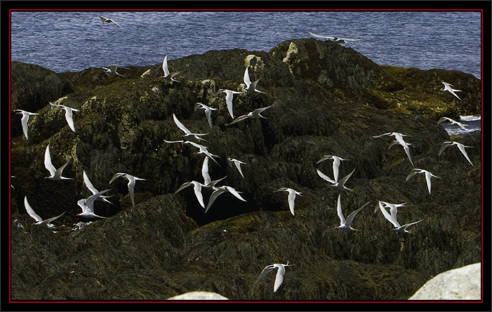 Tern Flight - Matinicus Rock