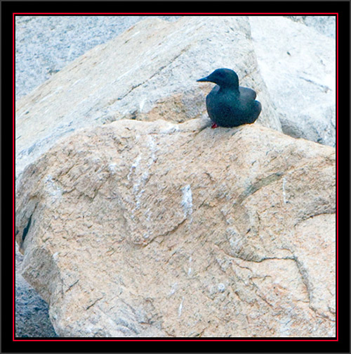 Black Guillemot - Matinicus Rock